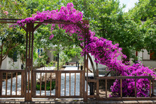 Wooden Gates And Bougainvillea Blooming Flowers On The Streets