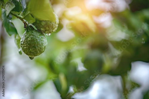 Bergamot with water droplets in the morning light view Canvas Print