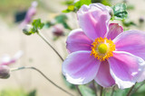 Closeup of a japanese anemone outdoor