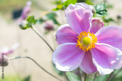 Closeup of a japanese anemone outdoor Wallpaper Mural