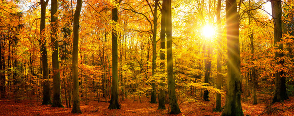 FototapetaGold forest panorama in autumn