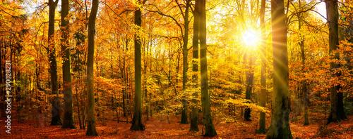 Fototapeta Gold forest panorama in autumn obraz