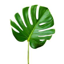Big Dark Green Leaf Of Monstera Plant