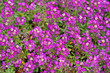 canvas print picture - Petite cerise purple pink flowers of Lobularia maritima Alyssum maritimum, sweet alyssum or alison, brassicaceae. Floral background