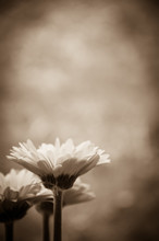 Vintage Styled Sepia Toned Thr...