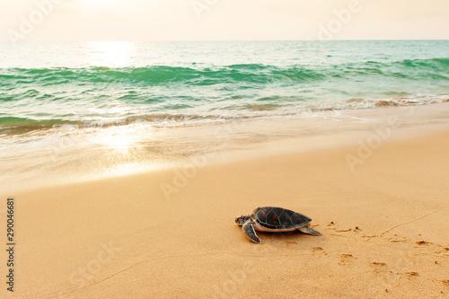 Fototapeta  Green Sea Turtle on the beach at sunrise.