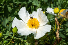 Romneya Coulteri A White Summer Large Flower Shrub Plant Commonly Known As Californian Tree Poppy