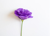 Beautiful purple and white eustoma flower (lisianthus) in full bloom with green leaves.