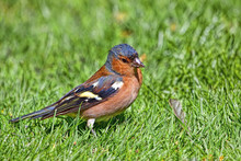 Male Chaffinch Standing In Sun...