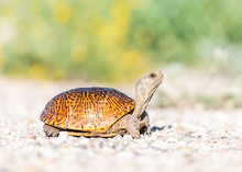 Ornate Box Turtle, In Southwes...