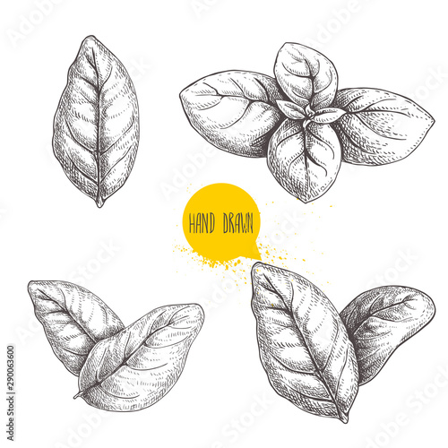 Hand drawn sketch style basil leaves set Fototapet