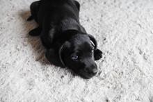 Little Black Dog Lies On Light...