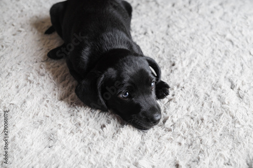 Leinwand Poster Little black dog lies on light gray carpet