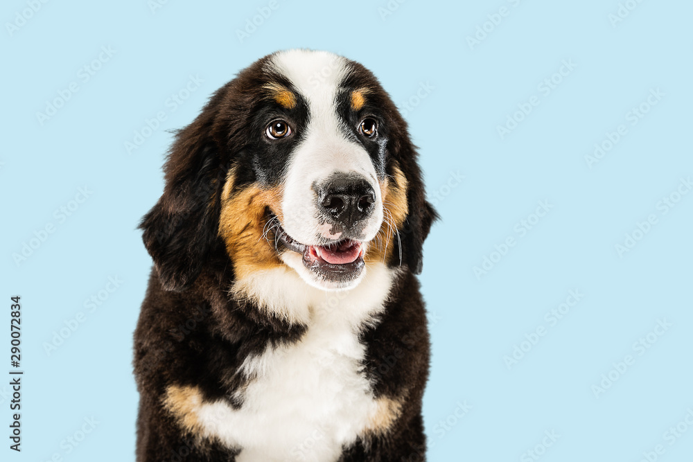 Fototapety, obrazy: Berner sennenhund puppy posing. Cute white-braun-black doggy or pet is playing on blue background. Looks attented and playful. Studio photoshot. Concept of motion, movement, action. Negative space.