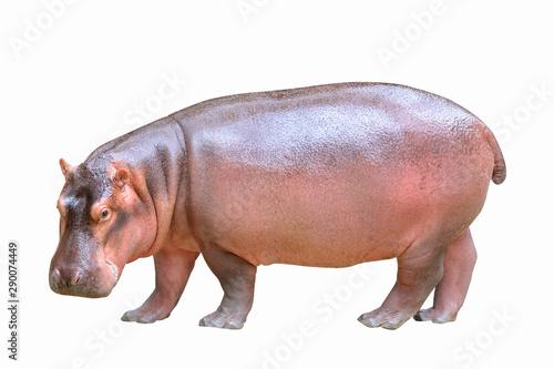 Valokuvatapetti Hippopotamus isolated on white background.