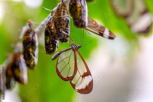 Amazing moment , Glasswing Butterfly (Greta oto) emerging from its chrysalis