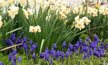 Daffodils And Grape  Hyacinths Inside A Park