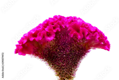 Cockscomb flower isolated on white background Canvas-taulu