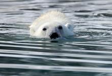 Polar Bear Swim In Water