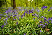 Close Up Of Bluebells In Woodl...