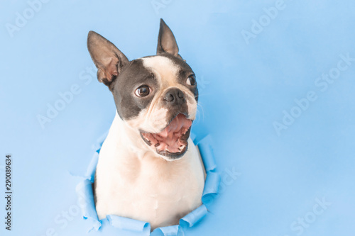 La pose en embrasure Chien The happy and joyful head of a Boston Terrier dog peeks through a hole in the paper.