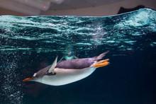 Emperor Penguin Swimming In The Aquarium Transparent Water