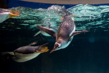 Emperor Penguin Swimming In Th...