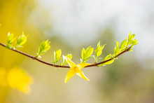 Pale-green Leaves And Yellow Forsythia Flowers In A Blurred Background