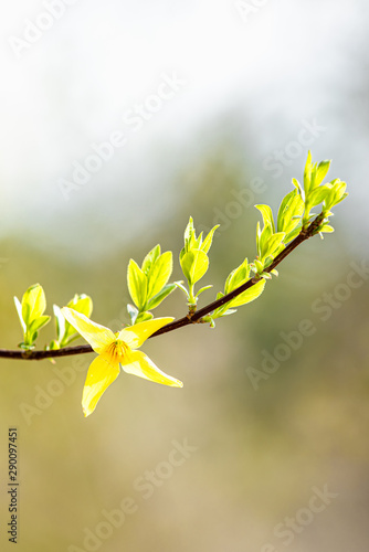 Slika na platnu pale-green leaves and yellow forsythia flowers in a blurred background