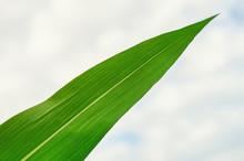 Green Leaf Of Corn Against The Sky. Selected Varieties