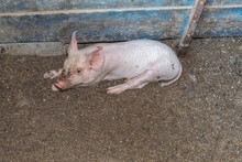 Cute Yorkshire Piglet Laying O...