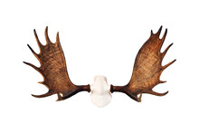 Moose Antlers Isolated On White Background. Hunting Trophy