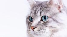 Funny Gray Tabby Cute Kitten With Blue Eyes. Portrait Of Lovely Fluffy Cat.