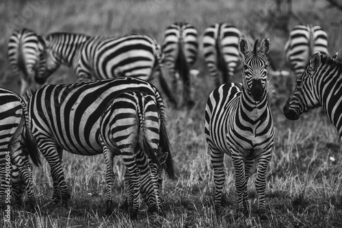 Poster Zebra zebra in serengeti national park tanzania africa