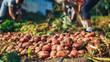 Harvest time concept. Farmer harvesting fresh organic potatoes from soil