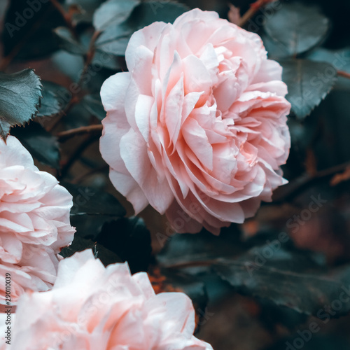 Fototapety, obrazy: Pink roses in the park. Plant lover concept