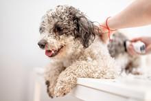 Bichon Frise Dog Getting His Hair Cut At The Groomer