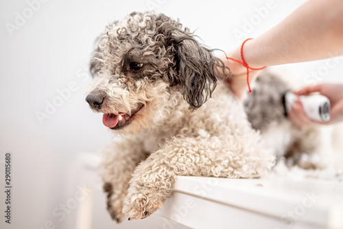 Fotografia, Obraz bichon frise dog getting his hair cut at the groomer