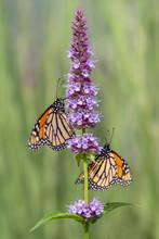 Two Beautiful Monarch Butterfl...