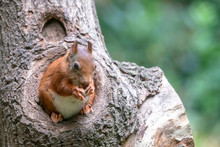 Eurasian Red Squirrel (Sciurus Vulgaris) Looks Outside A Hollow On A Tree In The Forest Of Drunen, Noord Brabant In The Netherlands.