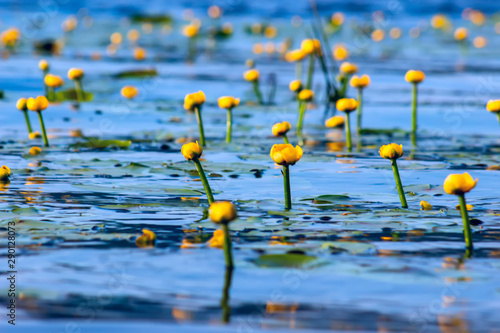 Door stickers Water lilies Summer lake with yellow water lily flowers on blue water.