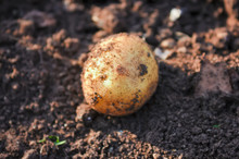 Potato Lies On A Bed Against The Background Of Soil Close-up.