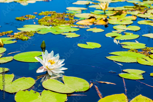 Door stickers Water lilies water lily white flower and green leaves float on a vivid blue smooth lake water surface, Asian garden floral natural scenic view picture