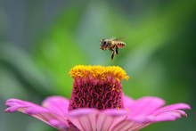 Bee Hovering Over A Flower, Indonesia