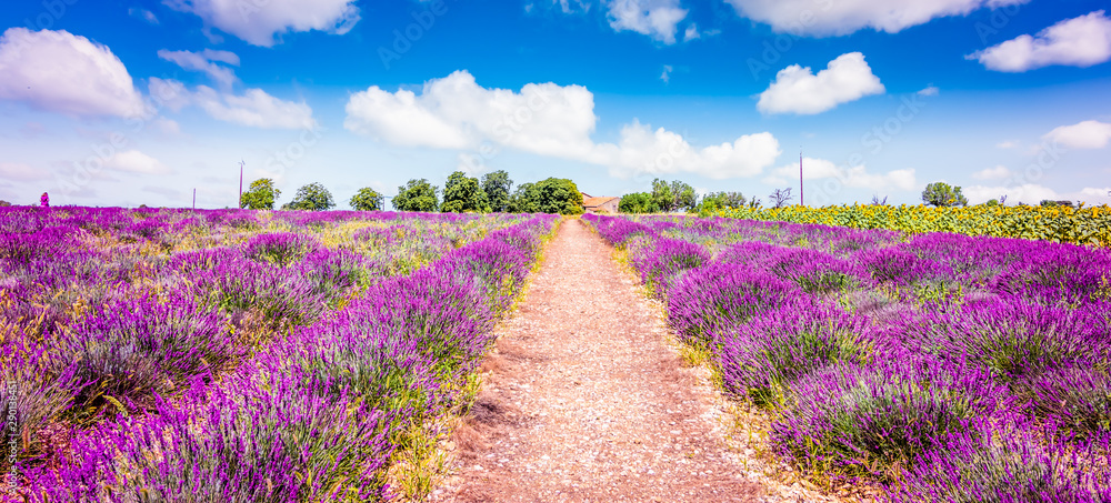 Fototapety, obrazy: Lavender field in Provence France. Panoramic landscape view with path between blooming purple lavender flowers.