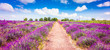Lavender field in Provence France. Panoramic landscape view with path between blooming purple lavender flowers.