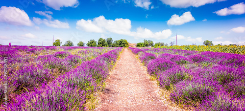 Photo sur Toile Lavande Lavender field in Provence France. Panoramic landscape view with path between blooming purple lavender flowers.