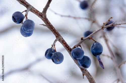 Prunus spinosa, called blackthorn or sloe, is a species of flowering plant in the rose family Rosaceae Fototapet