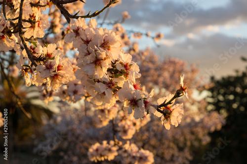 Almendros en flor. Flor de almendro Canvas Print