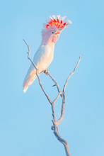Major Mitchell's Cockatoo (Lophochroa Leadbeateri) Perched On A Branch, Australia